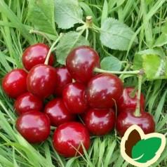 Kirsebærtræ Stevnsbær Birgitte