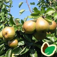 Pæretræ Skånsk Sukkerpære