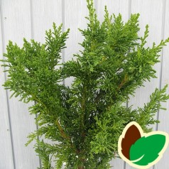 Chamaecyparis obtusa Drath / Dværgcypres