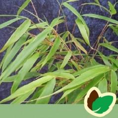 Bambus Rufa - Fargesia murielae Rufa