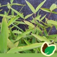 Bambus Trifina - Fargesia murielae Trifina