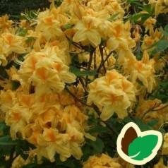 Rhododendron knaphill Sun Chariot - Haveazalea