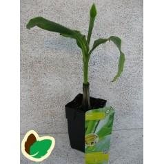 Bananpalme - Musa Basjoo