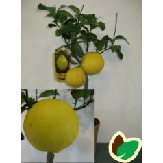 Bergamotappelsin - Ornamentale