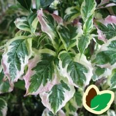 Cornus florida Cherokee Daybreak - Blomster Kornel