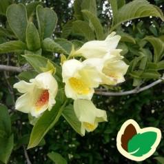 Weigela middendorffiana - Klokkebusk