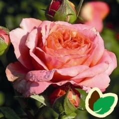 Rose Mary Ann - Storblomstret Rose