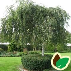 Betula pendula Youngii - Sørgebirk / 175-200 cm.