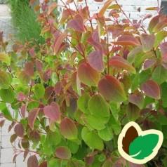 Cercidiphyllum japonicum Heronswood Globe - Dværg Hjertetræ