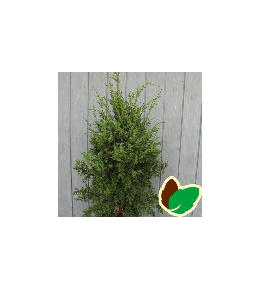 Juniperus communis Hibernica - Søjle Ene / 40-50 cm.