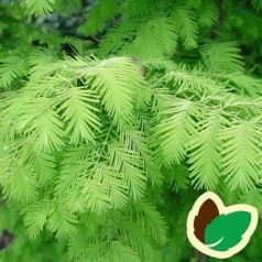 Metasequoia Glyptostroboides - Vandgran / 150-175 cm.