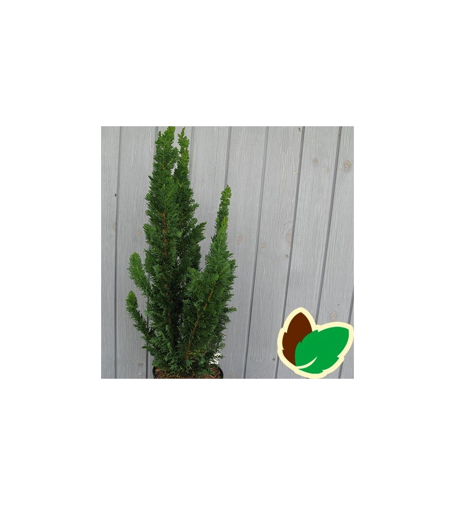 Chamaecyparis lawsoniana Little Spire - Cypres