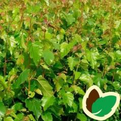 Dunbirk 60-100 cm. - Bundt med 10 stk. barrodsplanter - Betula pubescens _
