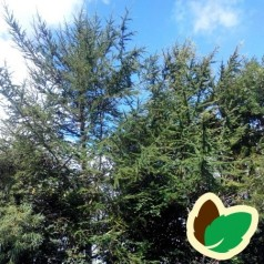 Hybrid Lærk 30-50 cm. - Bundt med 10 stk. barrodsplanter - Larix eurolepis
