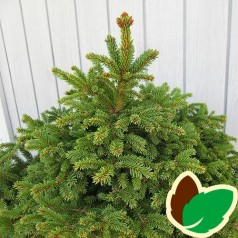 Picea abies Pygmaea / Dværggran