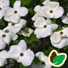 Cornus kousa Eddies White Wonder - Blomsterkornel - 200-250 cm. - ST