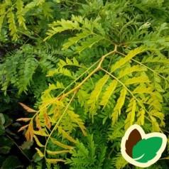 Gleditsia triacanthos Sunburst - Tretorn / 175-200 cm.