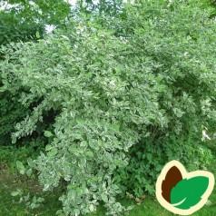Hvidbroget Kornel 50-80 cm. - Bundt med 10 stk. barrodsplanter - Cornus alba Elegantissima