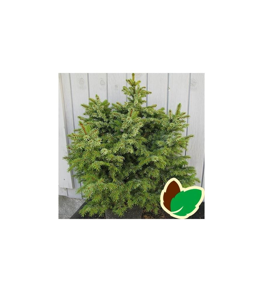Picea omorica Nana - Dværgform af Serbisk Søjlegran / 40-50 cm.