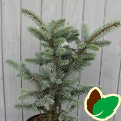 Picea Pungens Hoopsii - Blågran / 30-40 cm.