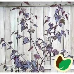 Betula pendula Purpurea - Rødbladet Birk / Træ 175-200 cm.