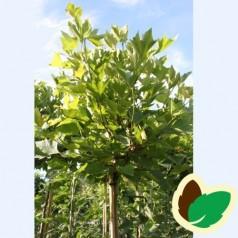 Platanus acerifolia Alphen Globe - Kugleplatan / Stamme højde 180 cm.