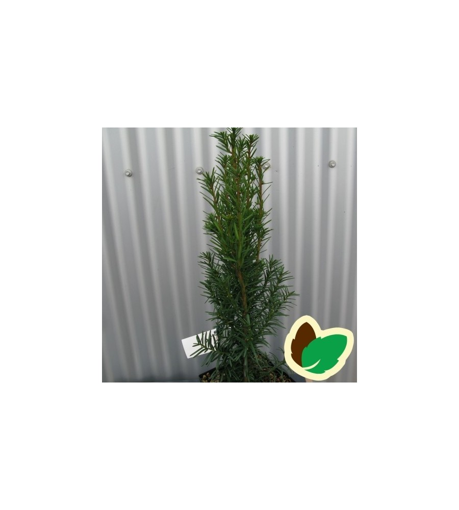 Taxus media Hicksii - Taks / 40-50 cm.