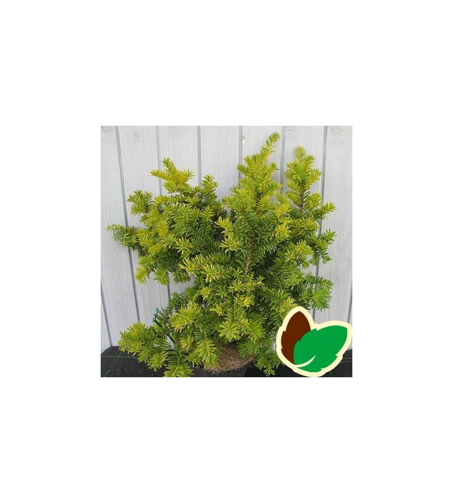 Taxus baccata Summergold - Gul Taks
