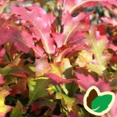 Quercus palustris Green Dwarf - Dværg Sumpeg / 180 cm. stamme med krone.