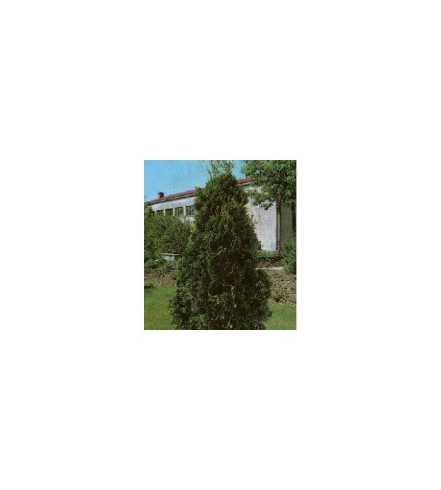 Thuja occidentalis Holmstrup / 50-60 cm.