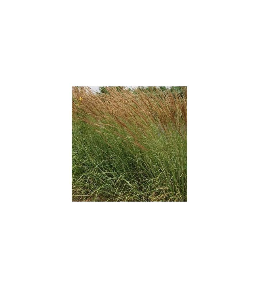 Calamagrostis acutiflora Overdam - Rørhvene