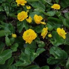 Caltha palustris Plena (Multiplex) / Engkabbeleje