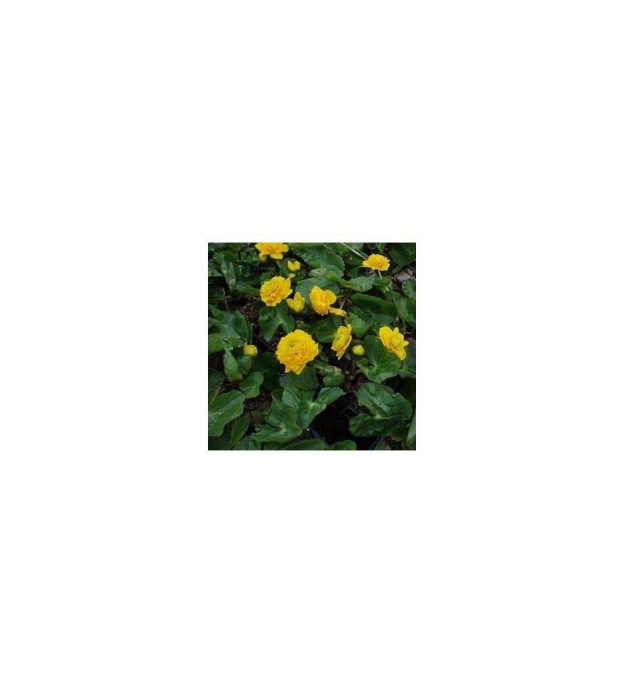 Caltha palustris Multiplex / Engkabbeleje
