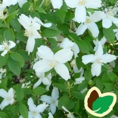 Philadelphus purpureo maculatus Silberregen - Uægte Jasmin