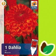 Dahlia Ball Maarn / Georgin
