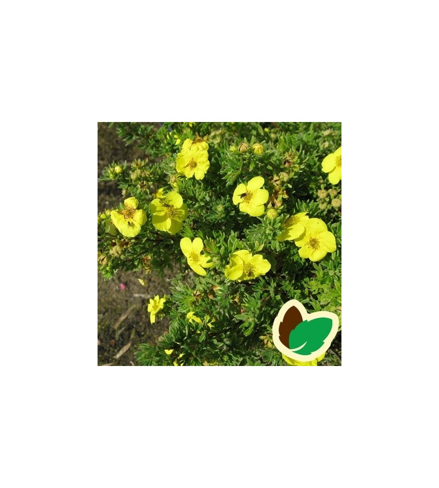 Potentilla fruticosa Kobold - Potentil
