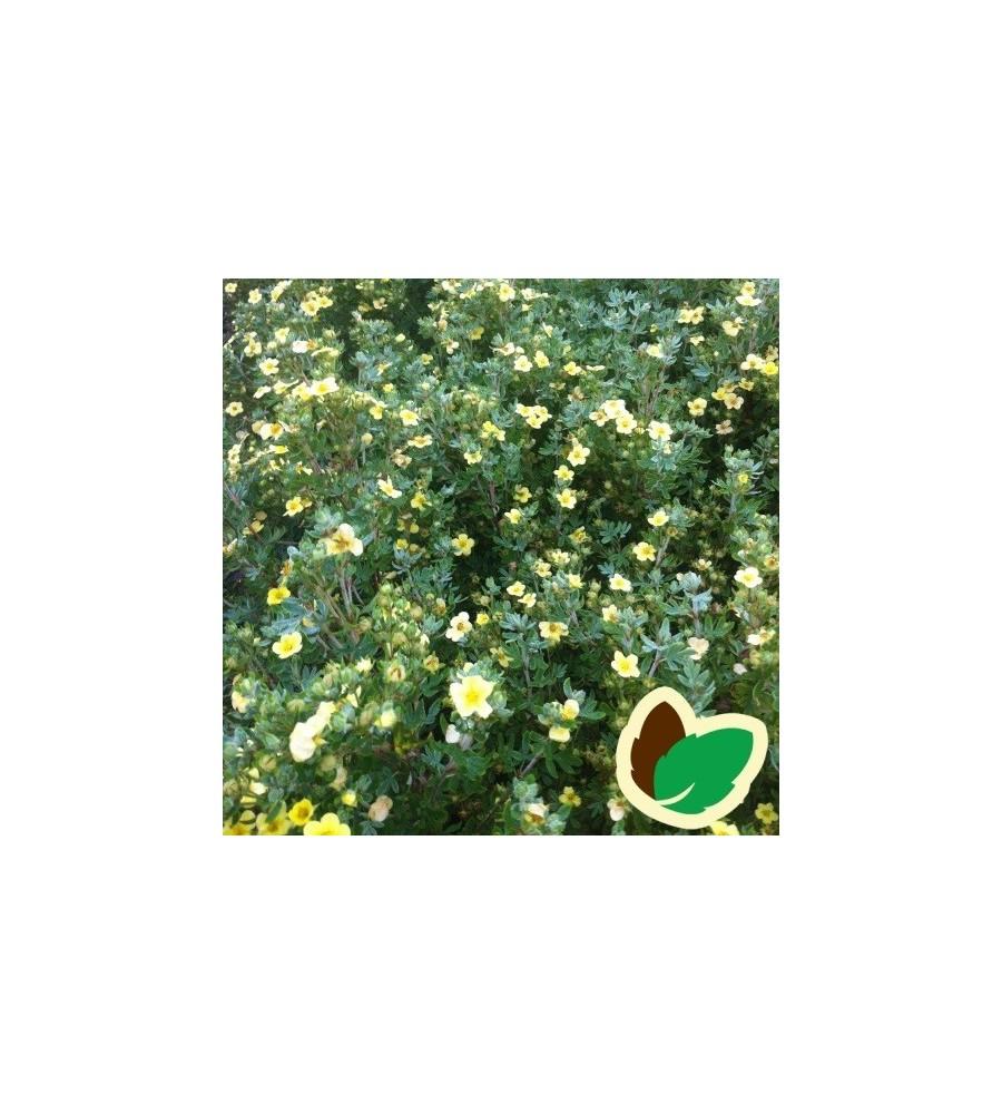 Potentilla fruticosa Månelys - Buskpotentil