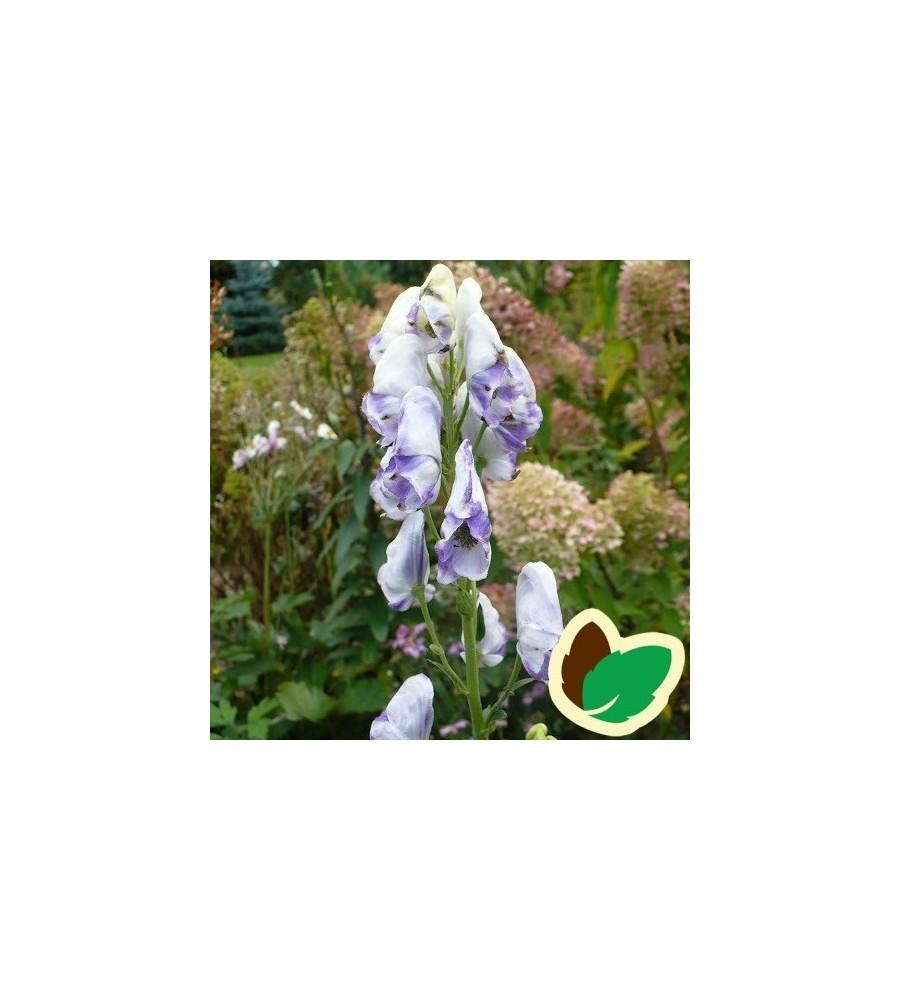 Aconitum carmichaelli Cloudy - Stormhat
