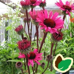 Echinacea purpurea Fatal Attraction / Solhat