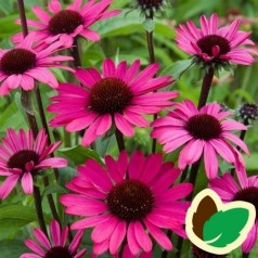Echinacea purpurea Summer Cloud / Solhat