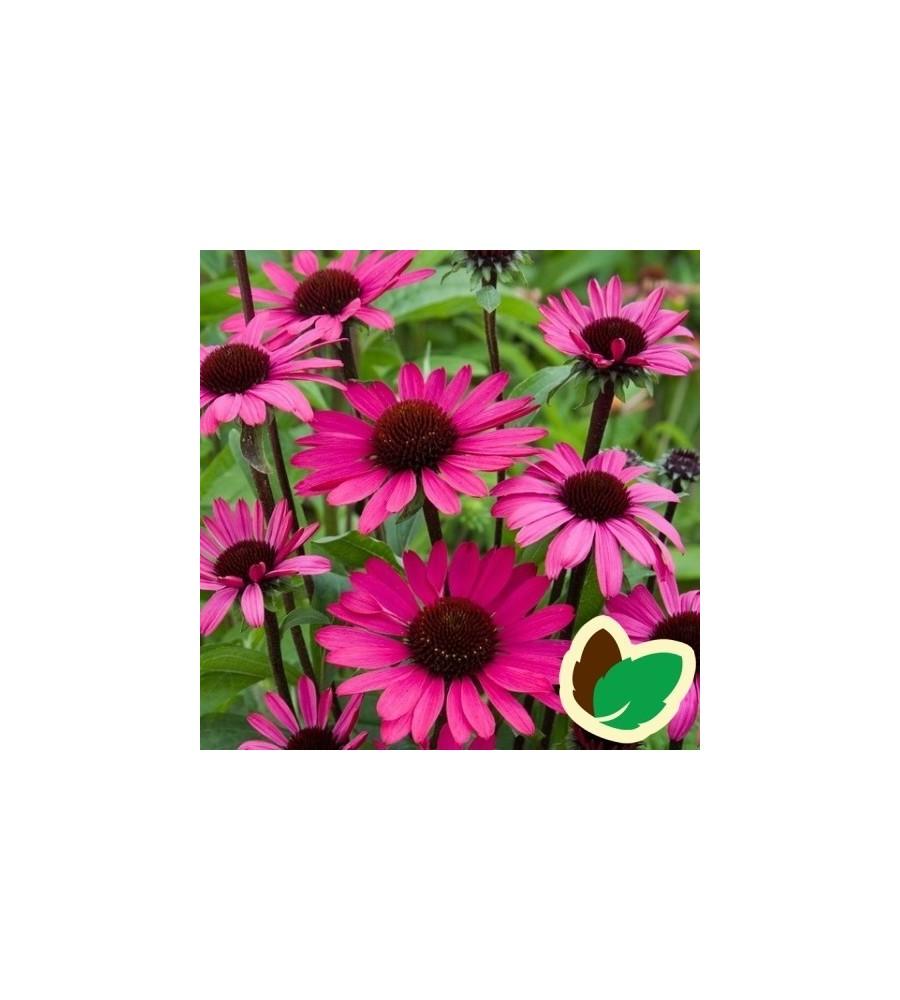 Echinacea purpurea Summer Cloud / Solhat