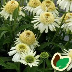 Echinacea purpurea Vanilla Cupcake / Solhat