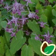 Epimedium grandiflorum Violaceum / Bispehue
