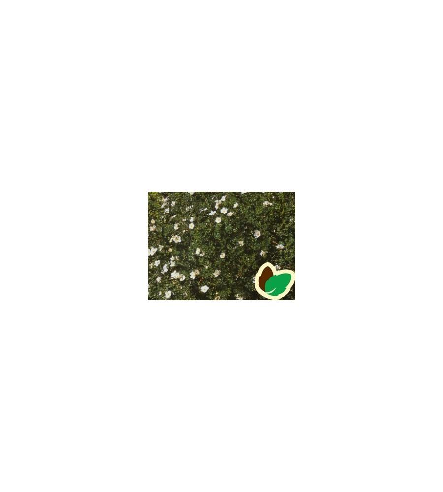 Potentilla fruticosa Tilford Creme - Buskpotentil