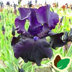 Iris germanica Black Dragon - Iris