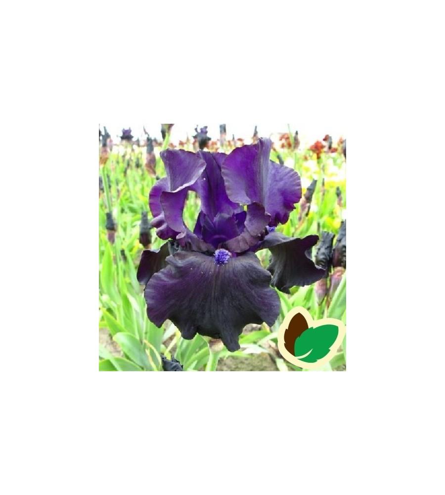Iris germanica Black Dragon - Iris