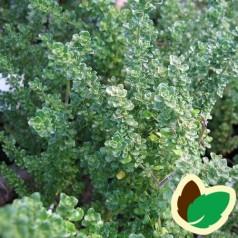 Prostanthera Cuneata - Pebermyntebusk