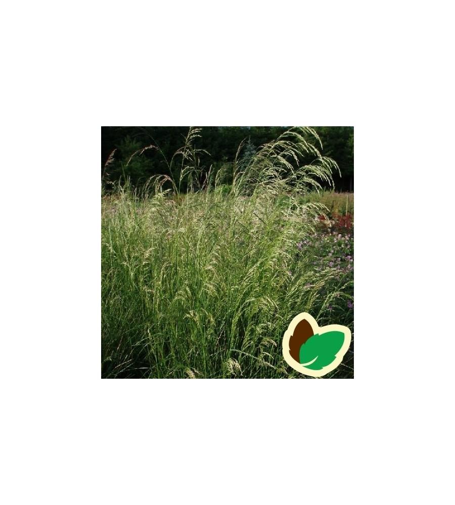 Deschampsia cespitosa / Mosebunke