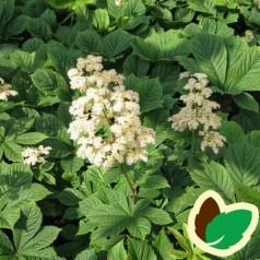 Rodgersia pinnata Alba - Bronceblad