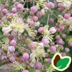 Thalictrum delavayi Elin - Violfrøstjerne